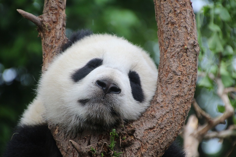 panda-1236875_960_720